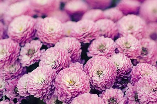 Pink chrysanthemum flowers macro image, floral vintage background - 212053531