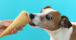 Portrait nice dog dog eating ice cream on a cone waffle . Jack Russell Terrier crop on blue background