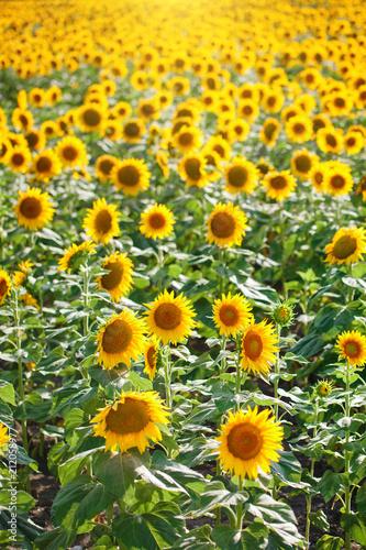 Aluminium Oranje Beautiful field of sunflowers. Rural landscapes under bright sunlight. Background of ripening sunflower. Rich harvest.