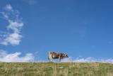 free cow on tghe mountain