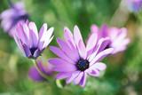 Fresh wild flower blue eye daisy on blurred nature background.