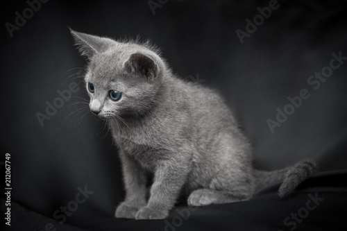 Portrait of a Russian blue cat puppy on a dark background - 212067749