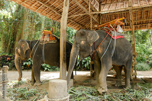 Fototapeta Elephants with rider saddle in Thailand. Concept of exotic animals and tourism.