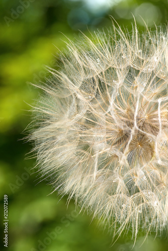 The macro photo of a deflowered flower of a dandelion against the background of a green tree with dew drops
