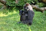 Gorilla bei entspannen - 212079161