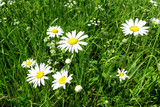 A white chamomile blooms on a green meadow.