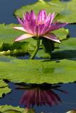 Seerosen bei der Blüte - 212080178