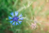 Blue cornflower on summer grass background. Field herbal flowers.