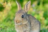 Baby rabbit - 212084905