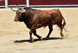 toro en españa corriendo en plaza de toros