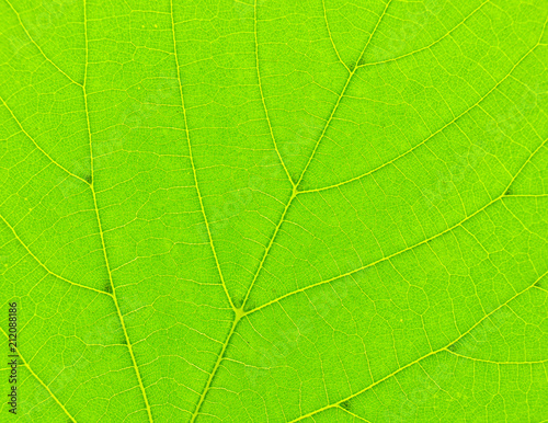 Texture of green leaf close-up. Natural background, leaf fibers. - 212088186