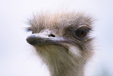 funny ostrich head close-up on a summer farm - 212090159
