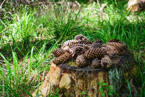 Fotobehang Groene Fir cones on the stump