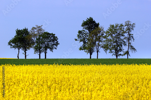 Fotobehang Geel Field of yellow rape flowers