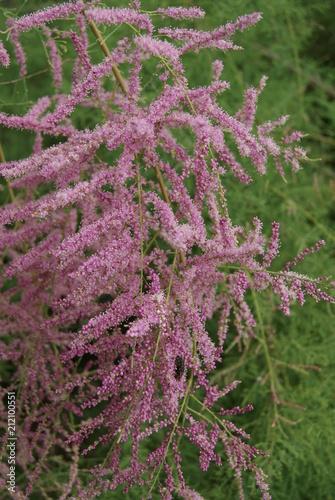 Fotobehang Lavendel SONY DSC