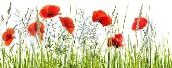 mohnblumenwiese vor weißem hintergrund © winyu
