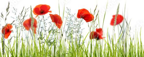 Fototapeta mohnblumenwiese vor weißem hintergrund