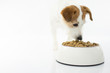CLOSE UP OF A CUTE JACK RUSSELL DOG EATING FOOD FROM BOWL ON WHITE BACKGROUND.ISOLATED. STUDIO SHOT. COPY SPACE.