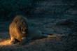 Löwe (Panthera leo), Südafrika, Afrika