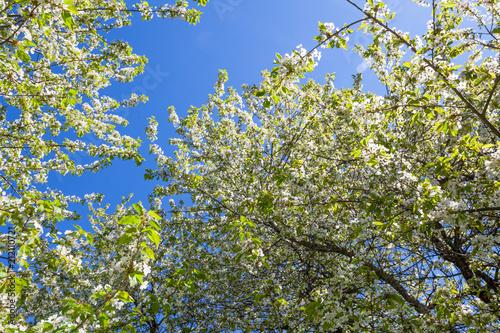 Fototapeta Cherry blossom