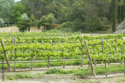 Aluminium Wijngaard viñas, primavera, uva, vino, paisaje, verde