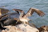 Landing Pelican - 212120338