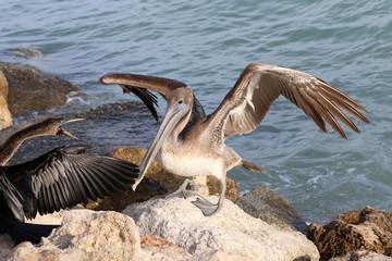 Landing Pelican © Vicky