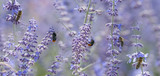 bees and bumblebee on lavender close up - 212120542