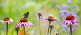 panoramic view - the garden with Echinacea flowers and butterfly - 212120911