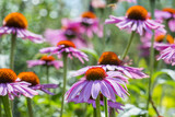 the Echinacea  - coneflowers in the garden close up - 212121988