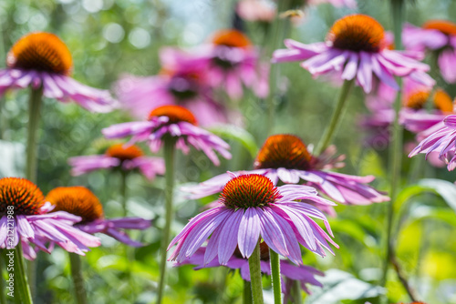 the Echinacea  - coneflowers in the garden close up
