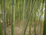 Bamboo grove in the park of the arboretum in Sochi