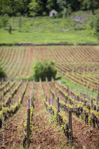 Fotobehang Wijngaard Shallow depth of filed view of vineyard in Burgundy, France