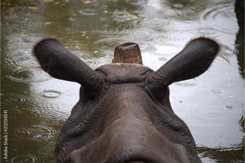 Fotobehang Neushoorn Indisches Panzernashorn im Wasser