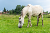 Gray mare on pastures, cloudy weather, countryside. Life in the village, Ukraine - 212144333