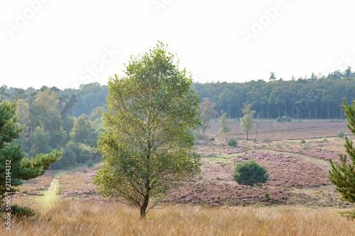 Fototapeta Birch tree in a field of heather