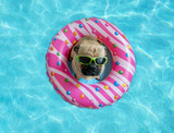 Cute pug floating in a swimming pool with a pink donut ring flotation device and wearing sunglasses