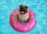 Cute pug floating in a swimming pool with a ring flotation device and wearing sunglasses