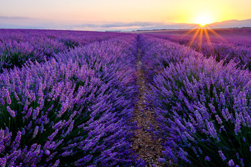 Champ de lavande en fleurs, lever de soleil. Plateau de Valensole, Provence, France.