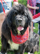 Newfoundland dog at the Fourth of July parade