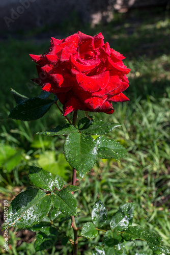 Rose with drops of water on the stem, morning rays of the sun, option 1. Garden roses are very attractive and graceful, the color of the rose conveys the mood, and the thorns symbolize strength