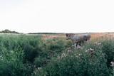 Kühe im Sonnenuntergang auf Kuh-Weide vor Greifswald