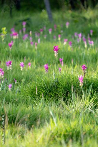 Sunset at Pink Flower Field in Thailand. - 212165396