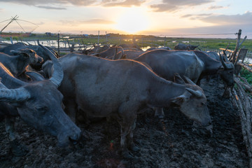 Group of buffalo herd sunset moment