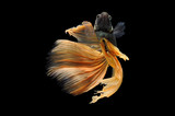 Betta fish, siamese fighting fish, betta splendens isolated on black background, fish on black background, fish fighting, Multi color Siamese fighting fish, - 212177357