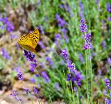 High brown fritillary (Argynnis adippe) on lavender - 212186301