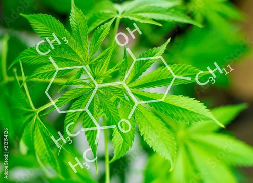 Leaves are marijuana growing. - 212194126
