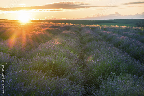 Plexiglas Lavendel A gentle pink sunset in a lavender field. Flowering of lavender.