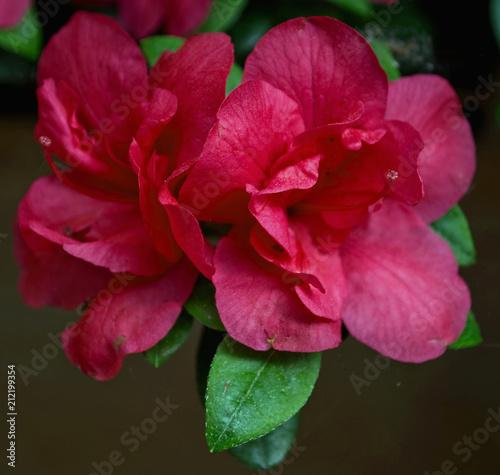 Fotobehang Azalea eine Blüte nur