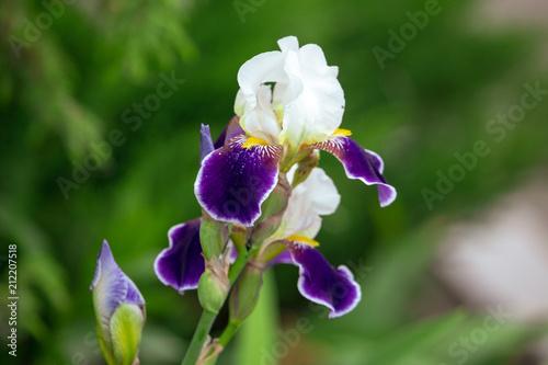 Fotobehang Iris Blue iris flower in a park in the nature